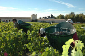 2010 Haut Brion Harvest 1 300x199 2010 Bordeaux Wine Harvest. Haut Brion Shows High Alcohol
