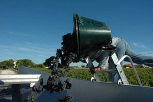 2010 Haut Brion Harvest grapes falling into truck 300x199 2010 Bordeaux Wine Harvest. Haut Brion Shows High Alcohol
