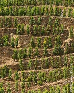 Cote Rotie Vines1 241x300 Rhone Wine Guide Everything you want to know about Cote Rotie