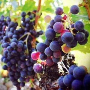 Grenache on the Vine 300x300 All About Chateauneuf du Pape Guide Best Wine Character Style History