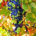 Bordeaux grapes hanging on the vine