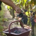 Cabernet Sauvignon Grape Harvest