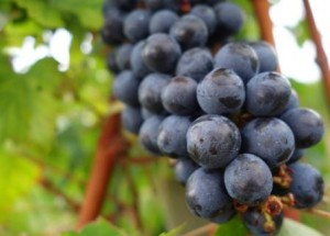 Cabernet Sauvignon Grapes on vine 300x215 Cabernet Sauvignon Wine Grapes Flavor Character History Food Pairings