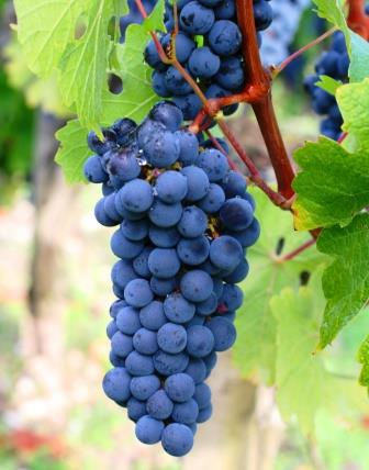 Carmenere Wine Grapes1 Carmenere Wine Grapes, Flavor, Character, History, Wine Food Pairings