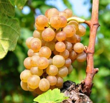 Marsanne Marsanne Wine Grapes, Flavor Character History Wine Food Pairing Tips