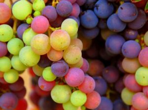 Rhone Grape varietals 300x223 Guide to Rhone Valley Wine Grapes for Red and White Wine