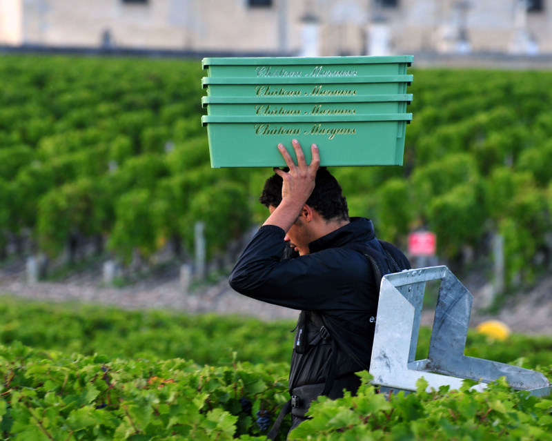 2011 Chateau Margaux Harvest
