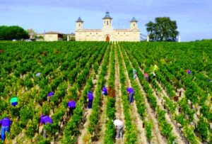 Cos dEstournel 2011 Bordeaux harvest 300x203 Chateau Cos dEstournel St. Estephe Bordeaux Wine