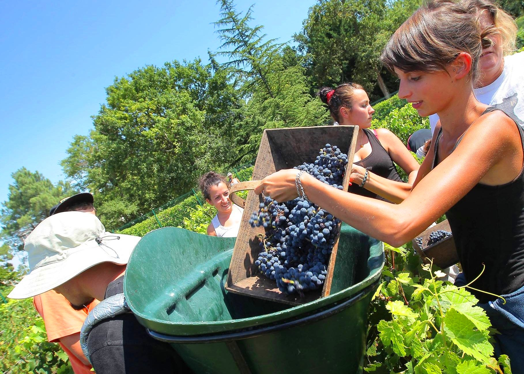 Haut Brion 2011 Bordeaux Harvest