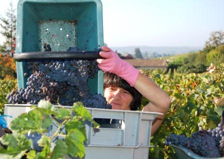 Bordeaux Harvest in St. Emilion at La Clotte