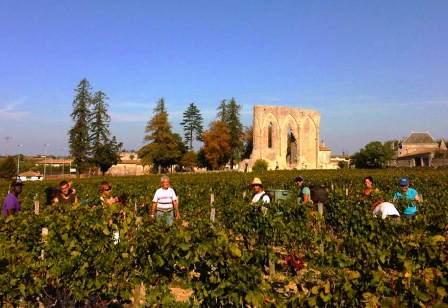St. Emilion Bordeaux Wine Harvest