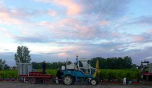 2012 Haut Bailly harvest 2 300x174 2012 Bordeaux Harvest Pessac Leognan News Updates
