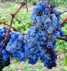 Grape Rot Closeup1 281x300 Liber Pater Declassifies Entire 2012 Bordeaux Harvest