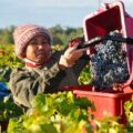 2012 giscours harvest