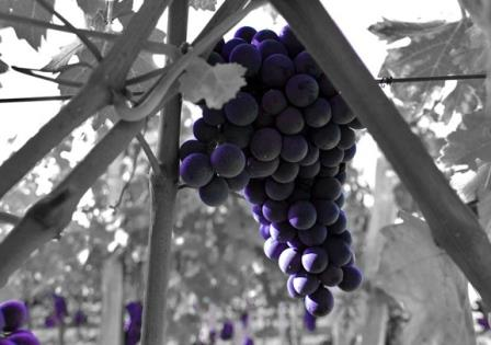 2012 Troplong Mondot harvest grape