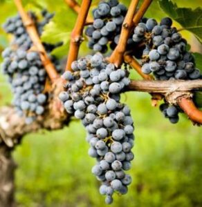 Bordeaux Grapes in vineyard 292x300 Chateau Bolaire Bordeaux Superieur Wine