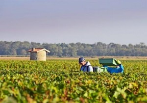 2012 Bordeaux harvest grape picking 300x210 2012 Bordeaux Harvest Information Vintage Summary