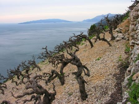 PlavacMali.Dingac.Dalmatia The Balkan Wine Industry Rapidly Gaining Attention with Consumers