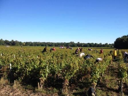 2013 Domaine de Chevalier White Wine Harvest