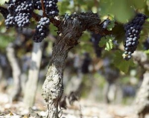Merlot Grapes on the vine 300x237 International Merlot Day What are you Drinking to Celebrate November 7