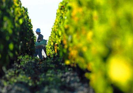 2013 margaux harvest image 2013 Margaux Paul Pontallier on the Harvest Vintage Wine Making