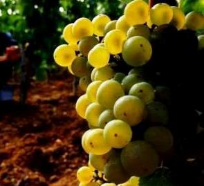 Picpoul Blanc Picpoul Blanc Grape, Flavor Character History Wine Food Pairing Tips