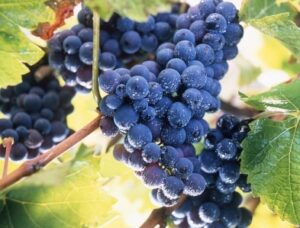 Grape harvesting 300x228 Haut Medoc Listrac Moulis Medoc Lesser Appellations Bordeaux Wine Guide