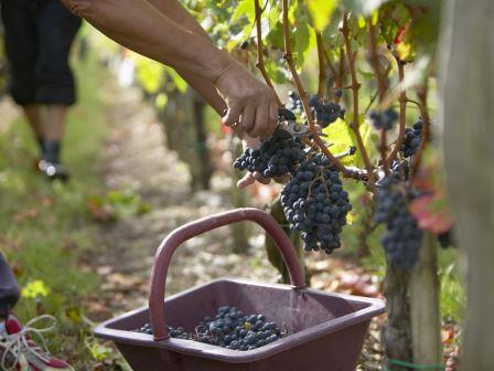 Bordeaux harvest picker with basket Bordeaux Wine Buying Guides, Articles, Hot Topics, Issues, Education