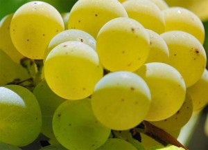 Roussanne Wine Grape 300x217 Roussanne Wine Grape, Flavor Character History Wine Food Pairing Tips